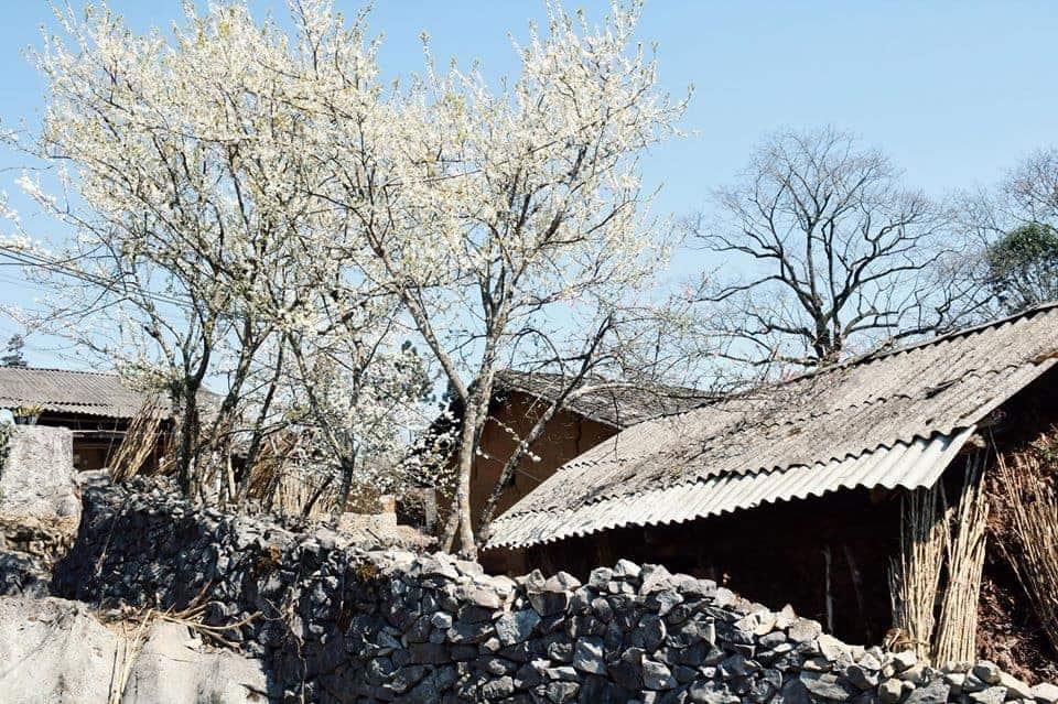 Hà Giang vào mùa đông hoa ban nở trắng nở rộ